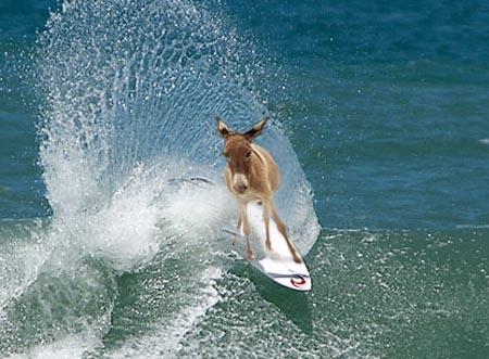 Imagem:Mula surfista.jpg
