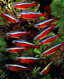 Repare no olhar melancólico destes Characiformes, condenados a viver presos num aquário desde que nascem