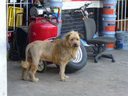 Fake lion dog2.jpg