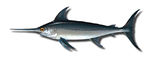 Peixe-espada1.jpg